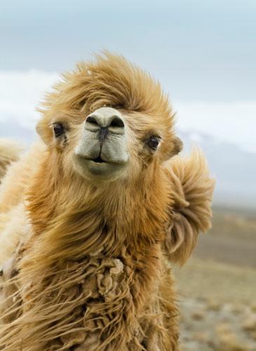kamelwolle-arabia