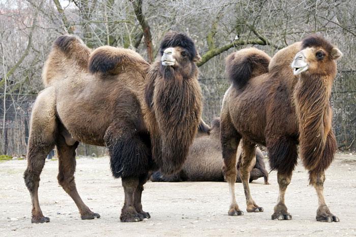 kamel doppelt