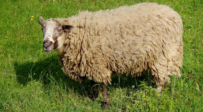 shetlandschaf wolle